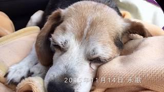 福島県須賀川市の阿武隈川河川敷で保護された老ビーグル。 飼い主さんを...
