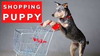 Cattle Dog Puppy Goes Shopping