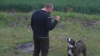 гон с собакой или воспитание питбуля