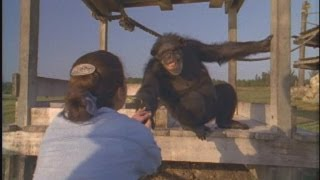 Emotional Reunion with Chimpanzees thumbnail