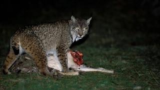 猞猁与狐狸相遇上演小型猫科和犬科的决斗(Lynx and small feline and canine fox met staged duel)