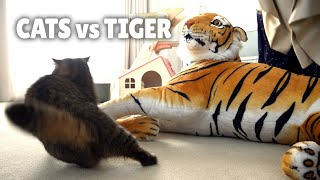 Cats vs Tiger