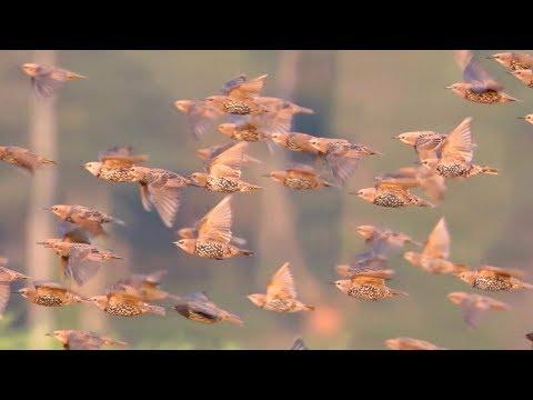 Starlings. Flock of the birds in flight.