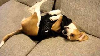 愛犬(ビーグル:女の子:6か月頃:みょうちゃん)に、はじめて洋服を...
