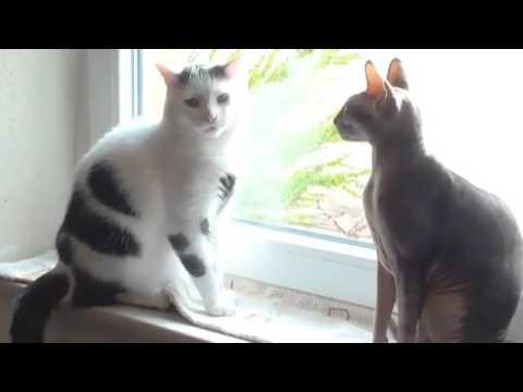 Самые дорогие породы кошек фото Самые дорогие кошки коты в