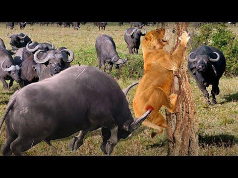Buffalos Bravely Attacks Herd Lion To Rescue His Teammates  - Lion Vs Buffalo, Zebra