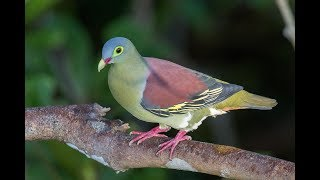 Green Pigeon Compliation - Pink-necked, Cinnamon-headed, Japanese, White billed and others