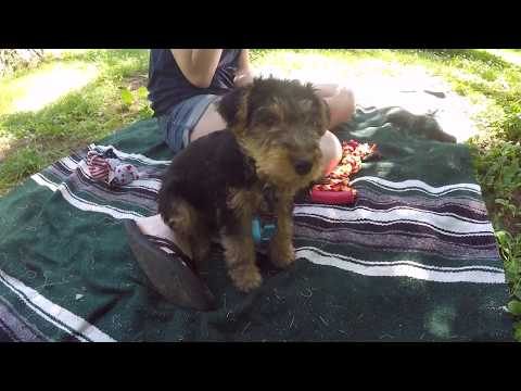 First Week with Nia the Welsh Terrier