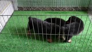 Rottweiler cachorros disponibles en Www.cachorroscachorrosymascachorros.com