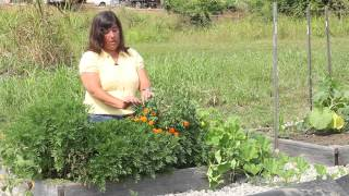 Harvesting & Drying Sweet Marigolds : Marigold Gardening