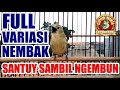Sirtu Cipoh Full Variasi Kicau Nembak  Mp3 - Mp4 Download