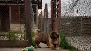 Щенок девочка Гера Гаяр Гаяс, возраст 70 дней ( купить  щенка) caucasian puppy female