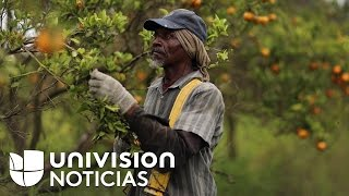 Agricultores se ausentan de sus puestos de trabajo por miedo a redadas migratorias