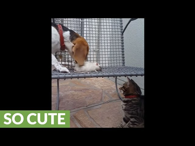 Unusual friendship between dog, cat and rat