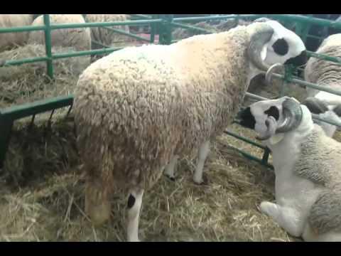 le plus gros mouton du maroc 1ere place youtube. Black Bedroom Furniture Sets. Home Design Ideas