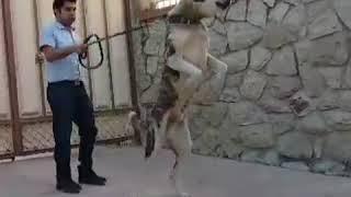 Afghan dog سگ افغان Large dogs