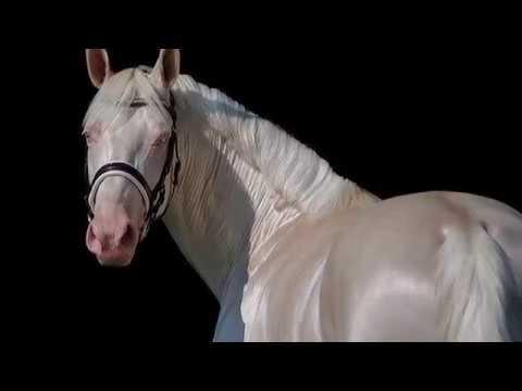 Warmbloed Cremello Hengst Through C Dreessen On Sporthorses