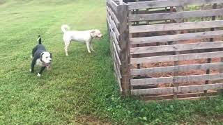 American Bulldogs and Hogs Part 2: Livestock Guardian Vs Straight Prey Drive