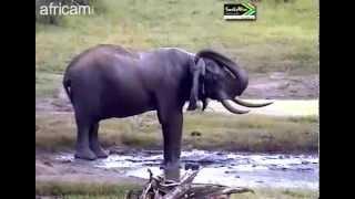 Słoń afrykański Tembe Afryka