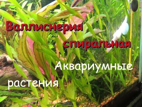 Валлиснерия спиральная(Vallisneria spiralis)