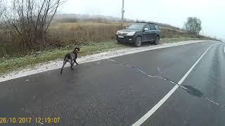 Охота на куропаток осенью с собакой 2017