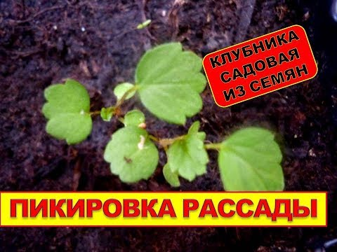 РАССАДА КЛУБНИКИ. Выращивание клубники из семян, пикировка рассады. Размножение земляники | размножение | выращивание | клубникой | землянику | земляники | земляника | вырастить | клубники | клубника | рассада