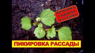 РАССАДА КЛУБНИКИ САДОВОЙ. Выращивание клубники из семян, пикирование рассады