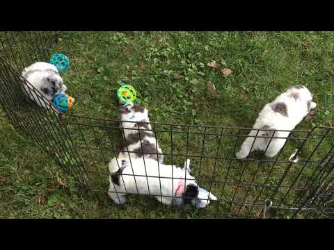 Diva's schnoodle puppies 9--15-18
