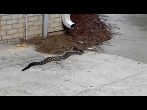 Timber Rattlesnake Chelsea Alabama