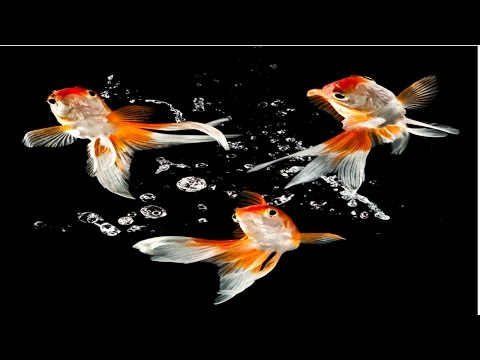 Curso Produção de Peixes Ornamentais