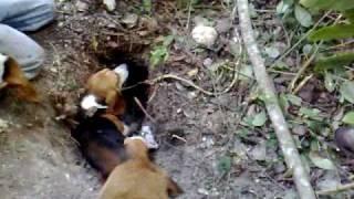 cazando armadillo con beagle.mp4