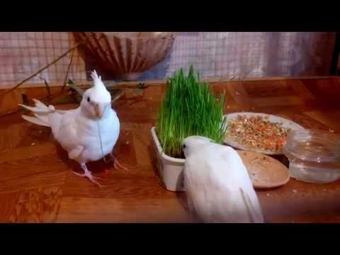 Кореллы белые безщекие. Первый раз кушают травку
