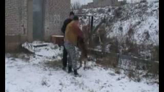 тренировка   малинуа police dog training К-9