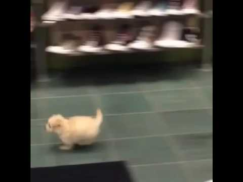 Puppy running in shoe store