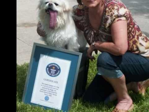 Puggy Guinness World Records Holder For Dog With Longest