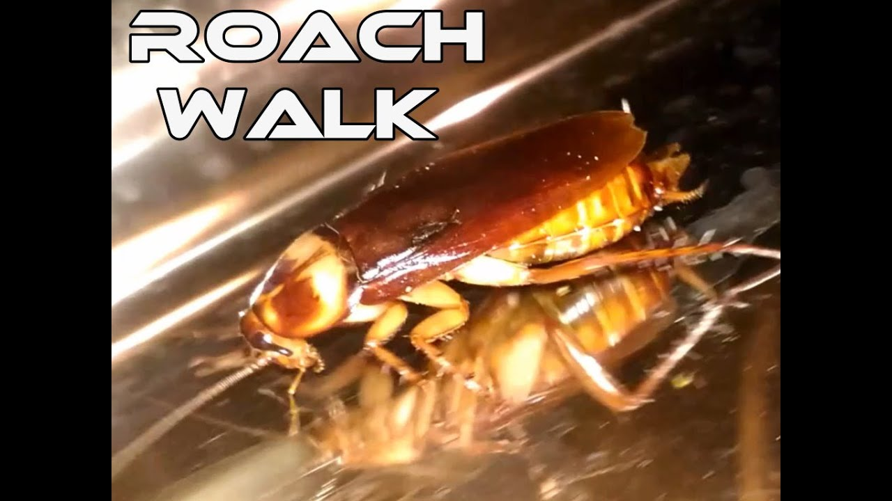 蟑螂特寫 Cockroach Walk Closeup, Kakerlake Nahaufnahme - YouTube