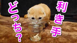 短足猫の利き手を検証してみたらまさかの結果に…w