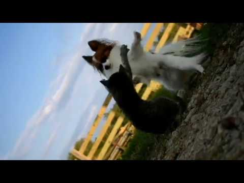 Percy the Papillon Dog: Percy Vs Misty the Cat