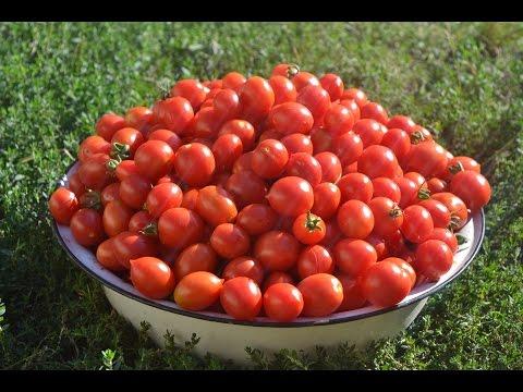 Выращивание высокорослых томатов в открытом грунте