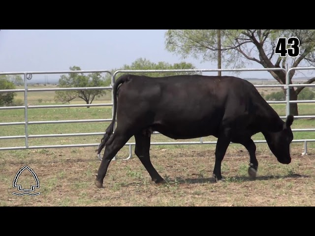 Pearcy Angus Ranch Lot 43