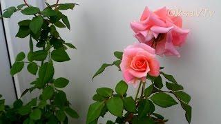 Уход за комнатной розой: будим розу после зимовки. Caring for the room rose: rose wake up(Уход за розой весной, как разбудить розу после зимовки. Все мой видео о цветах : http://www.youtube.com/playlist?list=PLHNV9DLhFJCStrX..., 2015-03-21T05:04:22.000Z)