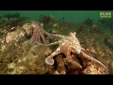 Giant Pacific Octopus Adventure | JONATHAN BIRD'S BLUE WORLD