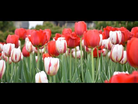 Canadian Tulip Festival Ottawa 2016