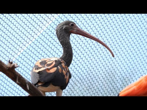 Young Scarlet Red Ibis