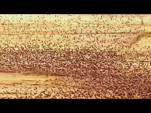 Thousands of birds in the sky / Több ezer madár az égen /Seregélyek Ősz