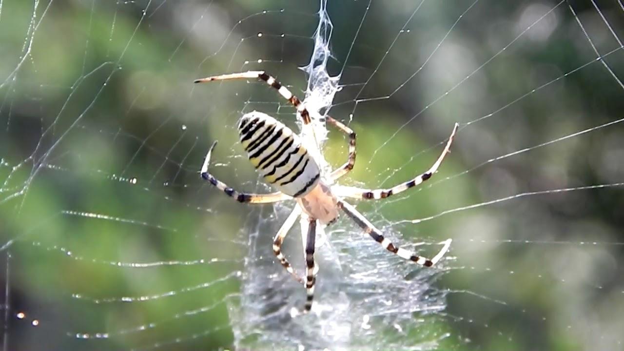 trippanosomatid parazita rovarok és pókok