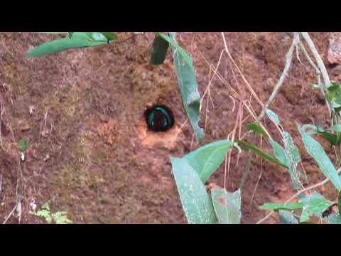 Nesting Of White Throated Kingfisher At Kidoor