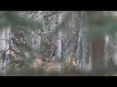 Elk Hunt In Northern Alberta DIY