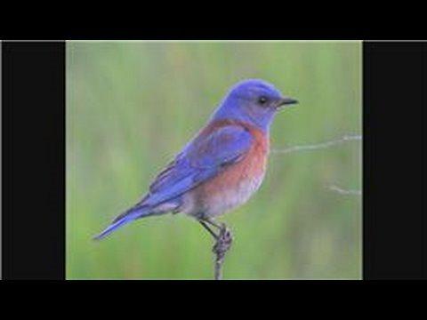 Bluebirds : How Do Bluebirds Protect Themselves?