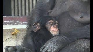 チンパンジー 双子の赤ちゃん Chimpanzee twin baby part12.
